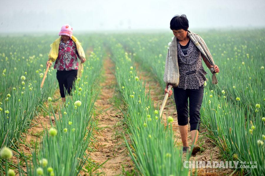 在田间为农作物施肥