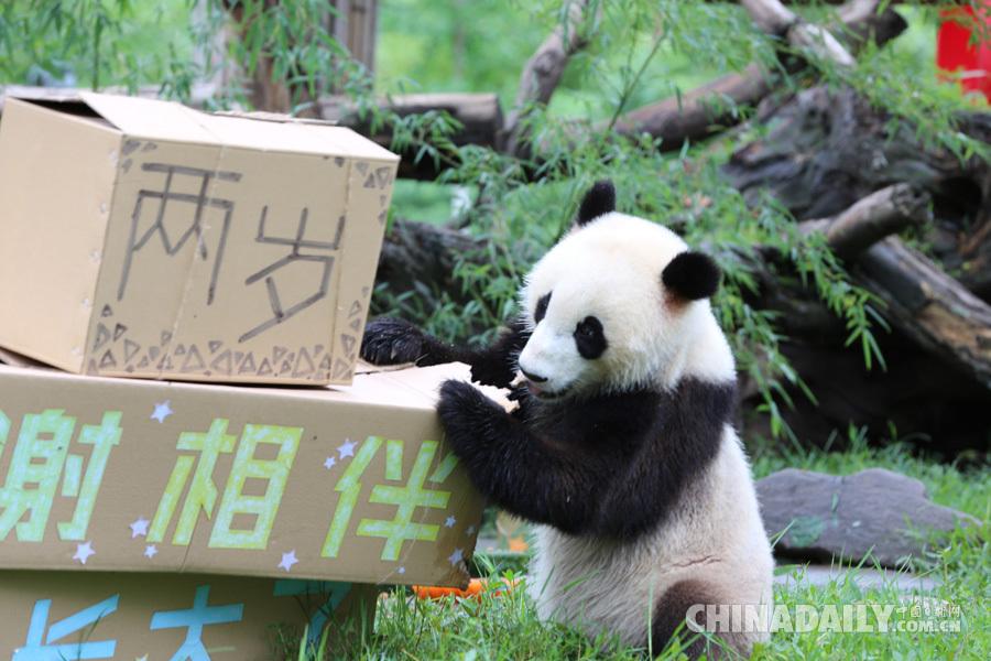 """龙凤胎大熊猫""""青青""""和""""冰冰""""迎来两周岁生日"""